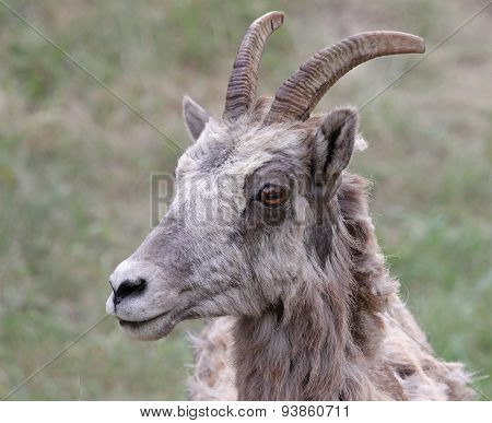 Bighorn Sheep Face