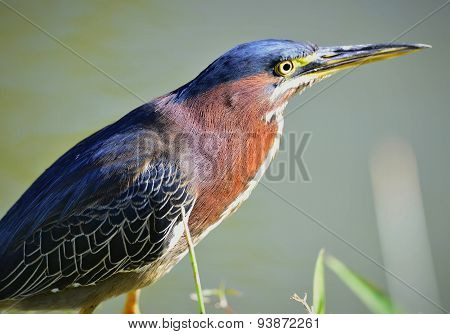 Green Heron male.