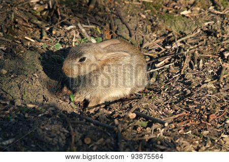 Baby wild rabbit basking in sun.