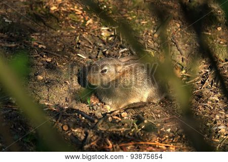 Baby wild rabbit in cover.