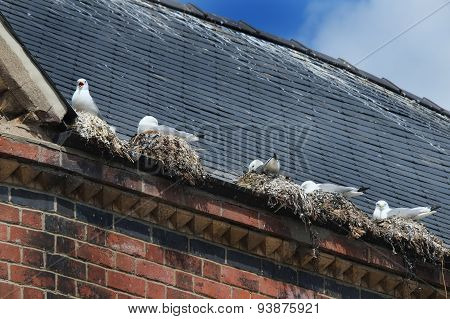Seagulls nesting in gutter on building roof in town center. poster