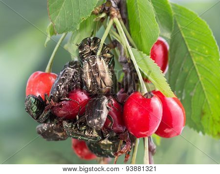 the beetles  eating berries sweet cherries