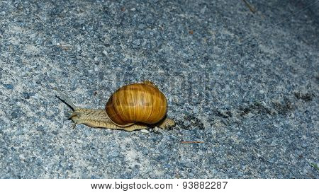 Fleeing snail across the forest road