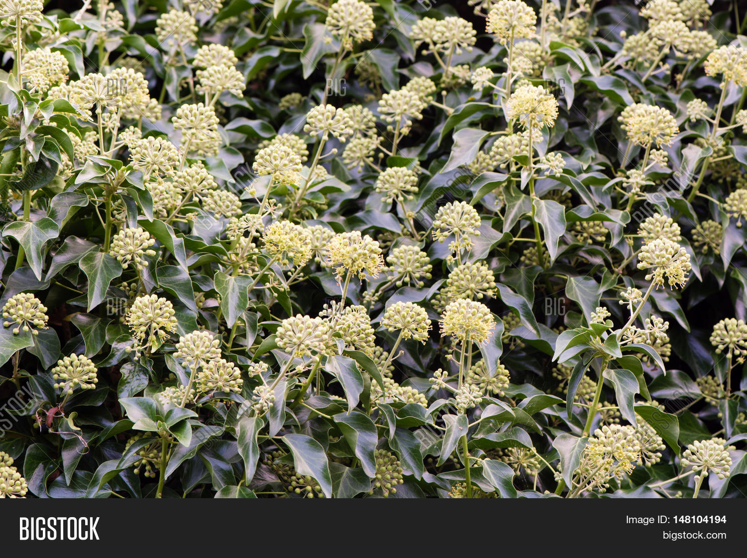 Ivy Hedera Helix Image Photo Free Trial Bigstock