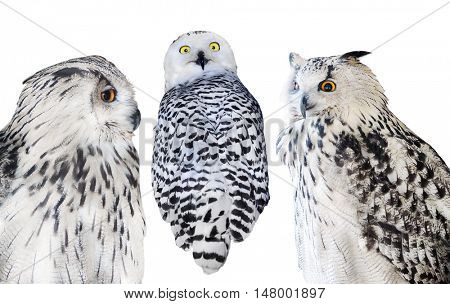 three owls isolated on white background