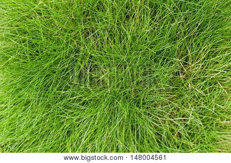 Green fescue leaves (Festuca gautieri) background low-maintenance ground cover decorative grass. Top view.