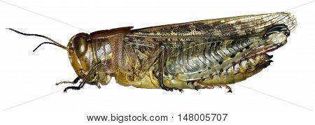 Italian Locust on white Background  -  Calliptamus italicus (Linnaeus, 1758)