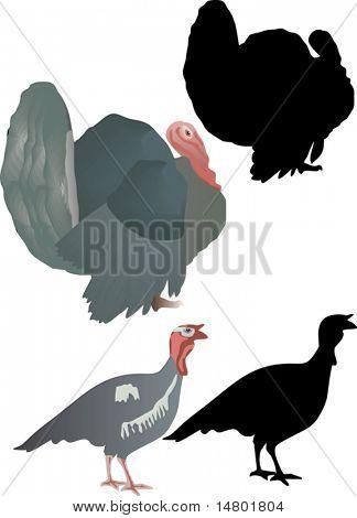 illustration with turkey cocks isolated on white background