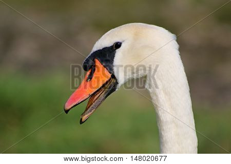 An angry adult male Mute Swan hissing at an intruder