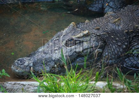 Animal photo image of big old crocodile sunbathing in croc farm crocodylus porosus