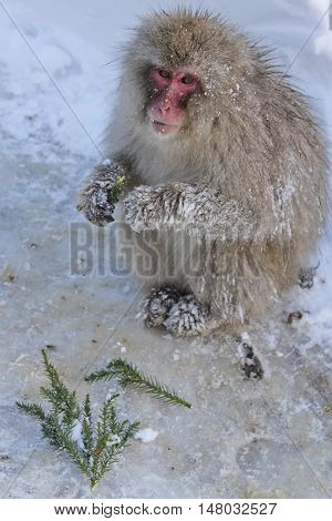 snow monkey sitting and eating juniper branches