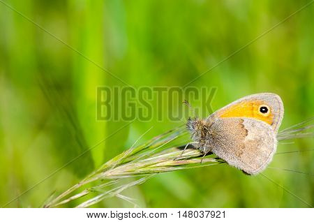 Small Heath Butterfly, Coenonympha pamphilus in Extremadura