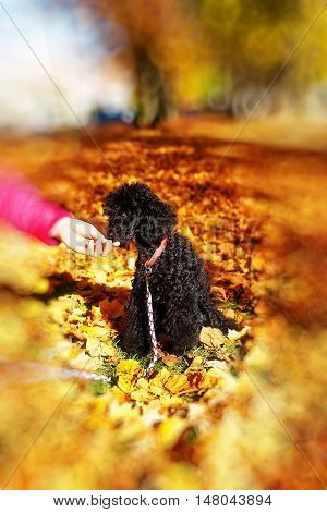 Woman feeds poodle in a beautiful autumn park. Blur effect at the edges