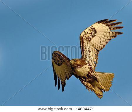 Ein Red Tail Hawk nur auszuziehen.