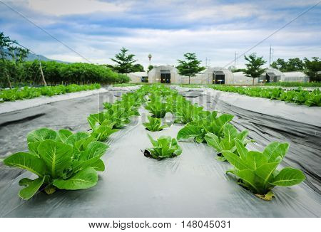 Green cos lettuce in field plant greenhouse background.