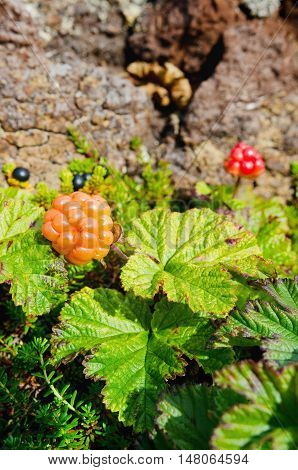 cloudberries on the shores of the Barents Sea