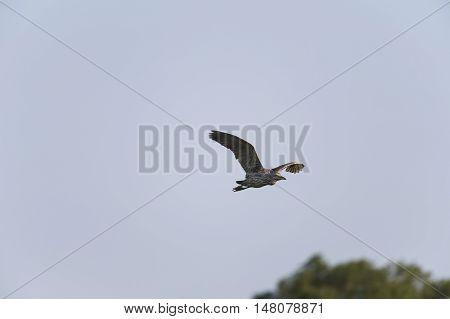 Black-crowned Night-Heron in flight with wings high