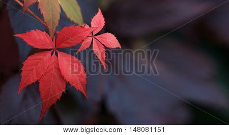 Close up of Autumn Virginia Creeper leaves, Macro of Autumn Wild Grape leaves, Colorful Leaves Of Creeper Plant As Fall Season Halloween Background