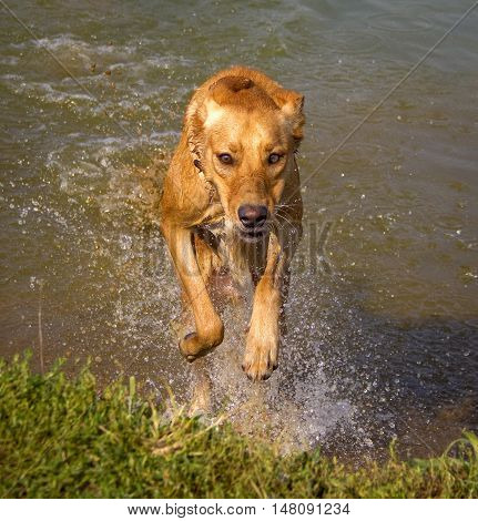 Energetic beige dog leaping out of the water with droplets flying towards viewer