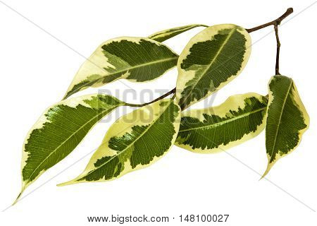 Small Sprig Of Green And White Variegated Bougainvillea Leaves