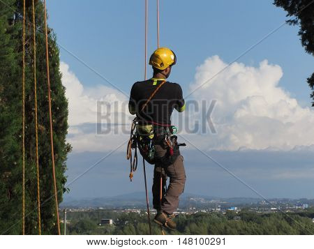 Tree surgeon lumberjack hanging from a big tree