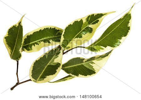 Sprig Of Variegated Bougainvillea Leaves In Green And White