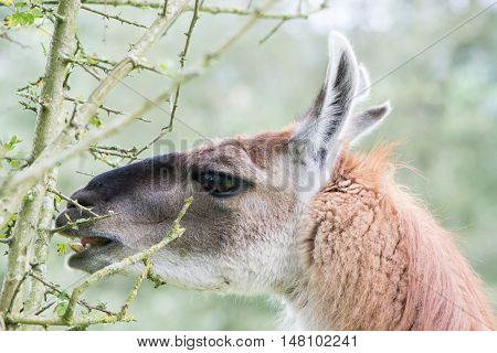 Llama delicately eating leaf from thorn bush. Domesticated camelid delicatly grazing leaves from hawthorn tree avoiding thorns