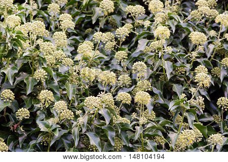 Ivy (Hedera helix) flowers in hedge. Masses of green and yellow flowers on this familiar evergreen climbing shrub in the family Araliaceae poster