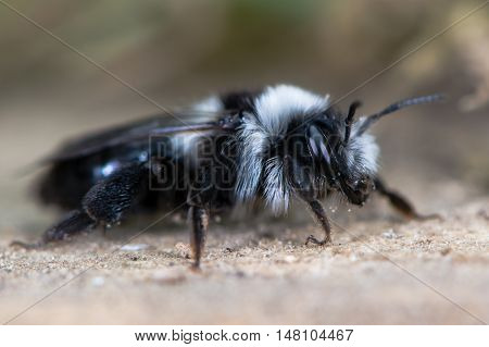Second generation ashy mining bee (Andrena cineria). Female insect in the family Andrenidae showing long black and white hair and compound eye