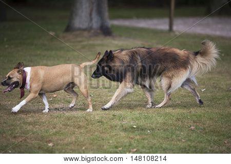 Two dogs Staffordshire bull terrier and belgian shepherd tervuren chasing each other