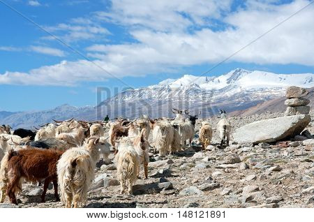 Herd of goats walking across Rothang La pass in the Indian Himalayas