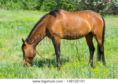 Chestnut horse (mare) grazing fresh grass on a spring pasture.
