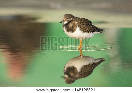 Ruddy Turnstone (Arenaria interpres) in winter plumage standing in a pool with reflections