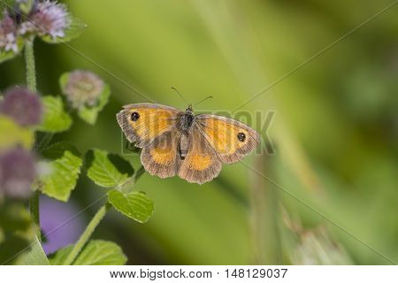 Gatekeeper (Pyronia tithonus) butterfly resting on Water Mint (Mentha aquatica) with open Wings