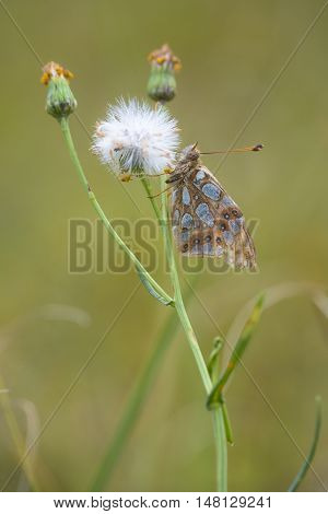 Queen of Spain Fritillary (Issoria lathonia) resting on Narrow-leaved Ragwort (Senecio inaequidens) with closed Wings