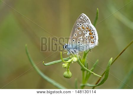 Common Blue (Polyommatus icarus) butterfly male resting on a plant