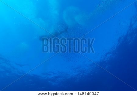 Whale Shark With School Of Fishes, Cayo Largo