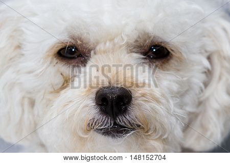 Cute Mini Toy Poodle