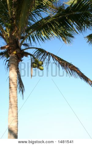 Coconuts On Palm