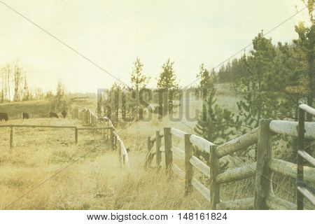 Cattle grazing as the cool morning as sunrise glows over the pine trees, grassy pasture and an old rustic fence.