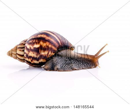 Close Up Of Vanilla Snail Isolate On White Background With Reflection.