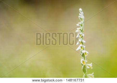 Rare Spiranthes Spiralis, Commonly Known As Autumn Lady's-tresses