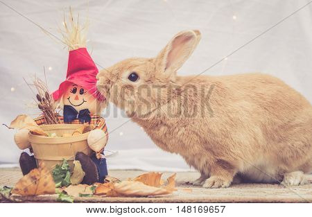 Beautiful Rufus colored rabbit nudges fall scarecrow decoration in warm retro look