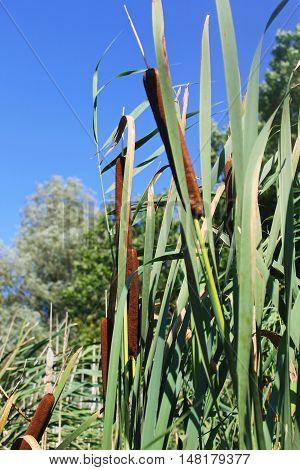 Common bulrush (Typha latifolia) or Broadleaf cattail