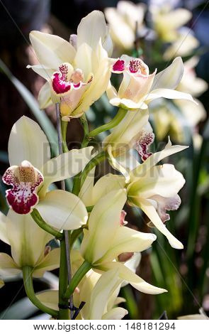 yellow cymbidium orchid flower in the garden