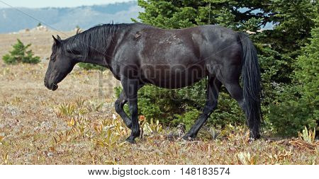 Wild Horse Black Band Stallion in the Arrowhead / Pryor Mountains in Montana - Wyoming USA