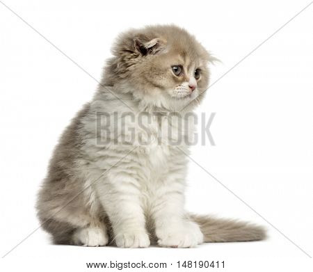 Front view of a Young Highland Fold kitten sitting and looking away isolated on white
