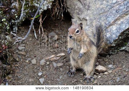 Golden-mantled ground squirrel. Jasper National Park. Canadian Rockies. Alberta. Canada.