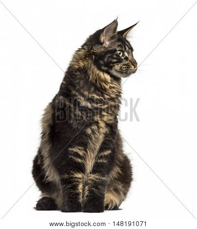Front view of a Maine Coon cat sitting and looking away isolated on white