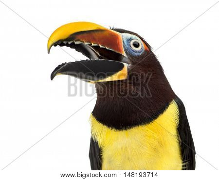 Close up of a Green aracari, Pterogossus Viridis opening his beak isolated on white